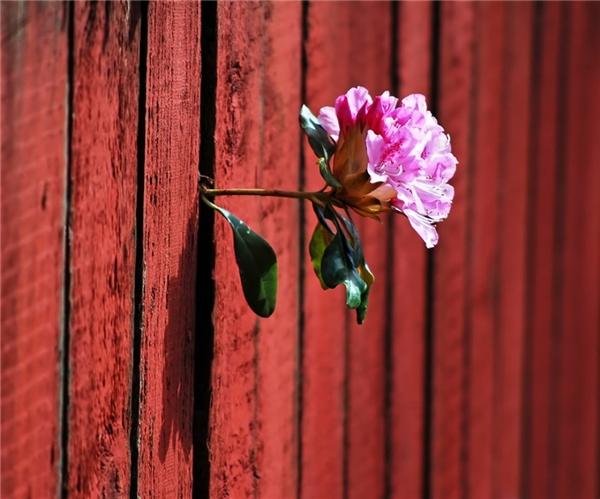 Giữa khe gỗ chật hẹp, một bông hoa xinh đẹp đang chào đón ánh nắng ban mai.